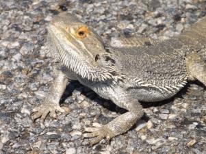 mutawintji heritage tours mutawintji lizard
