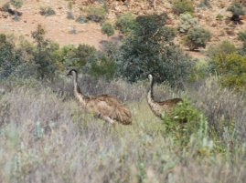 mutawintji heritage tours mutawintji emus