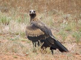 mutawintji heritage tours mutawintji eagle