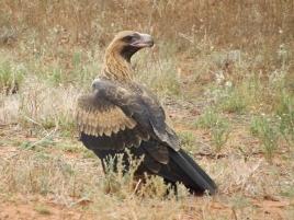 mutawintji heritage tours wedge tailed eagle