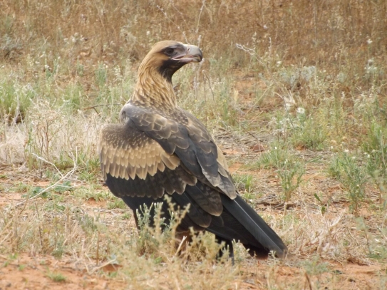 mutawintji heritage tours wedge tailed eagle
