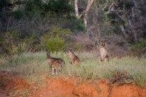 mutawintji heritage tours mutawintji curious roos 2
